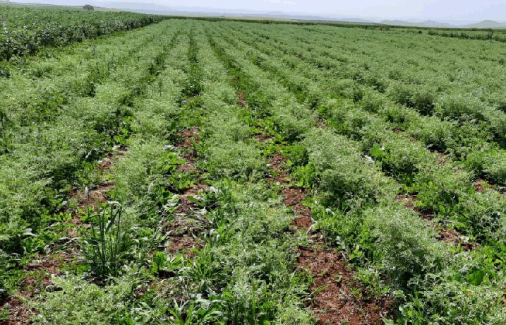 Efficacité de quelques séquences d'herbicides contre les mauvaises herbes du pois chiche et de la féverole conduits en semis direct
