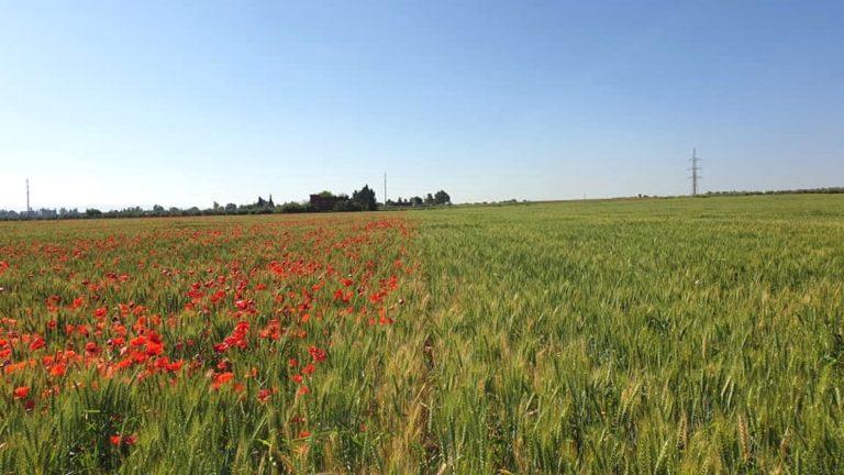 Efficacité de quelques herbicides des céréales dans une culture du blé tendre conduite en semis direct